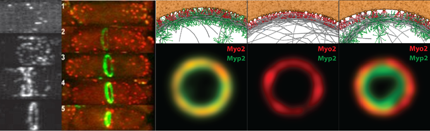 Assembly and constriction of the contractile ring in fission yeast (experimental images at left, courtesy of Tom Pollard, Yale). Images of simulations of the contractile ring, right.
