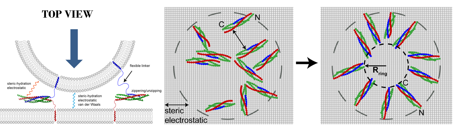In simulations, SNARE complexes self-organize into circular clusters that exert entropic forces that push membranes together and catalyze their fusion.